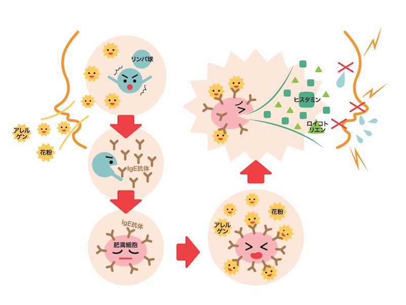 花粉症のメカニズムの図解